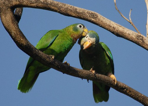 Pair of Yellow Billed Parrots | by Jamdowner