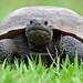 Florida's Gopher Tortoise