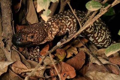 Mexican Beaded Lizard Heloderma Horridum Heloderma Comm Flickr