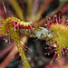 Roundleaf Sundew / Stiletto Fly