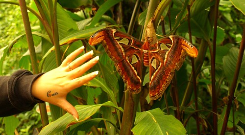 Atlas moth with hand for scale | by internets_dairy