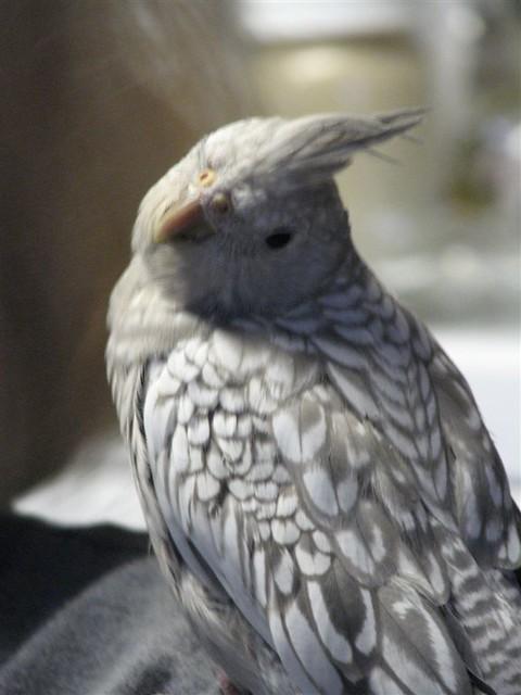 """Whiteface Pearl Cockatiel Best """"Pretty plea..."""