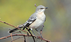 Northern Mockingbird | by 1F Photos
