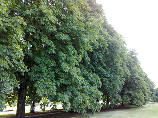 Line of Horse Chestnut trees | by markhillary