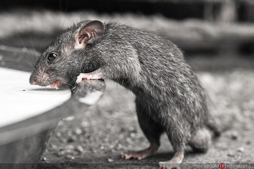DESHNOKE/una linda ratita