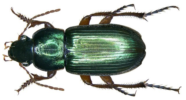 Harpalus affinis schrank 1781 family carabidae size 9 for Schrank flach