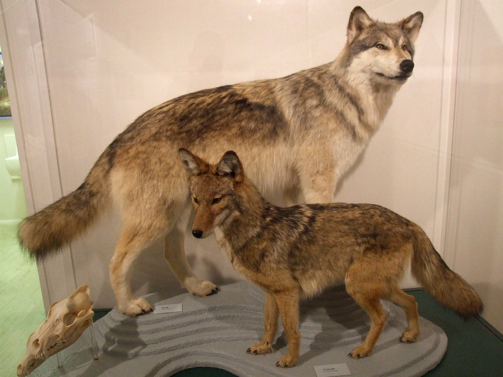 how to tell a coyote from a wolf