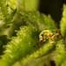 Green Immigrant Leaf Weevil (Polydrusus sericeus)