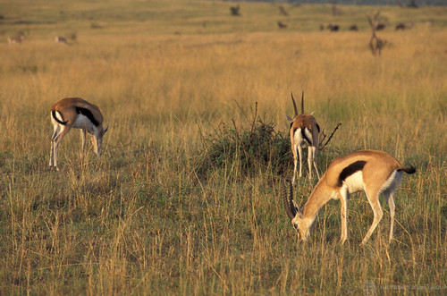 Gazelles graze | by World Bank Photo Collection