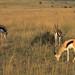 Gazelles graze