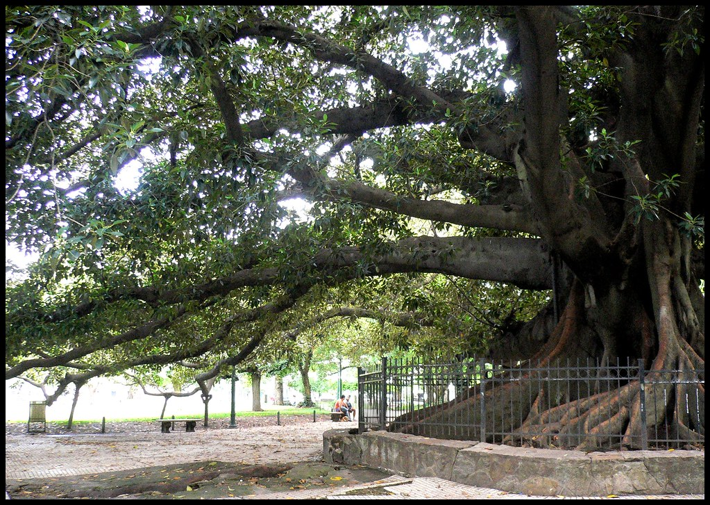 Gomero (Rubber Tree) Plaza San Martin, Buenos Aires City