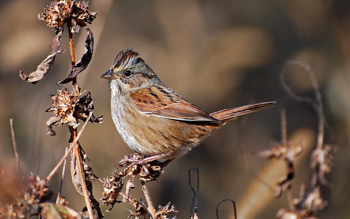 Swamp Sparrow | by 1F Photos