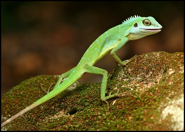 Green Crested Lizard | Flickr - Photo Sharing!