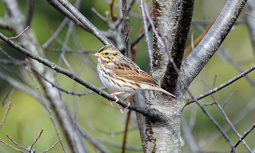 Savannah Sparrow | by 1F Photos