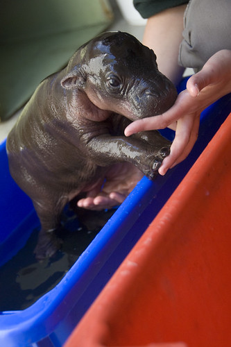 Monifa the baby pygmy hippo | by urbanmenagerie