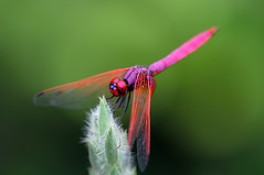 Violet Darter dragonfly DSC_9555 | by ** David Chin **