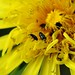 yellow flower with bugs