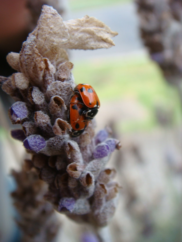 Ladybird Sex 110