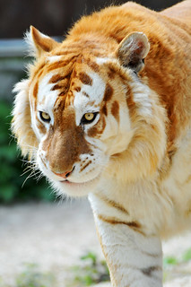 Walking golden tiger | by Tambako the Jaguar
