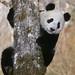 25017114-giant_panda