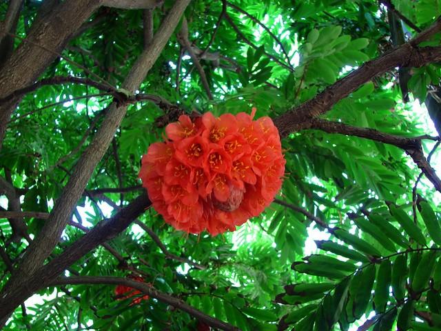 Brownea Rose Of Venezuela Flowering Tree In Mt Coot