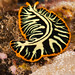 Divided or Tiger Flatworm