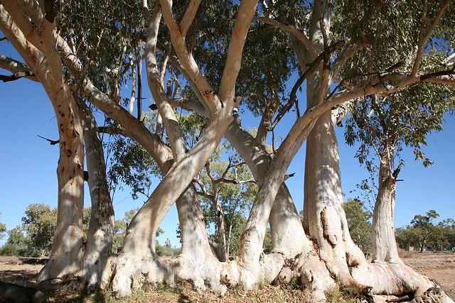 River Red Gum (Eucalyptus Camaldulensis), Lower Todd River