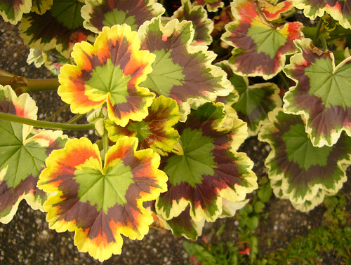 Variegated geranium leaves. | by Blossom's Mom.(Sheila Hess)