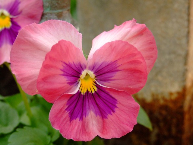 Pink pansy flower images free download 50 pansy seeds delta pink pink pansy flower mightylinksfo