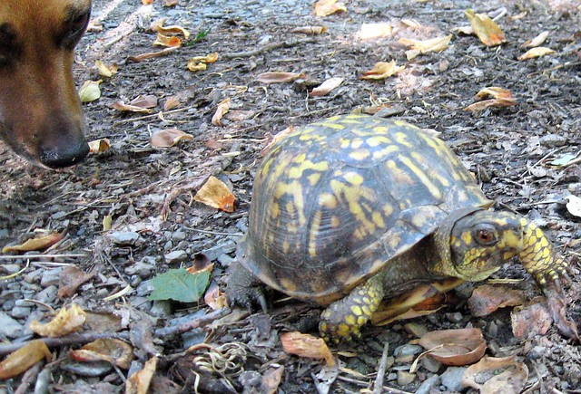 Eastern Box Turtle in Morgan County, West Virginia | Flickr
