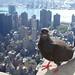 One-Legged Pigeon