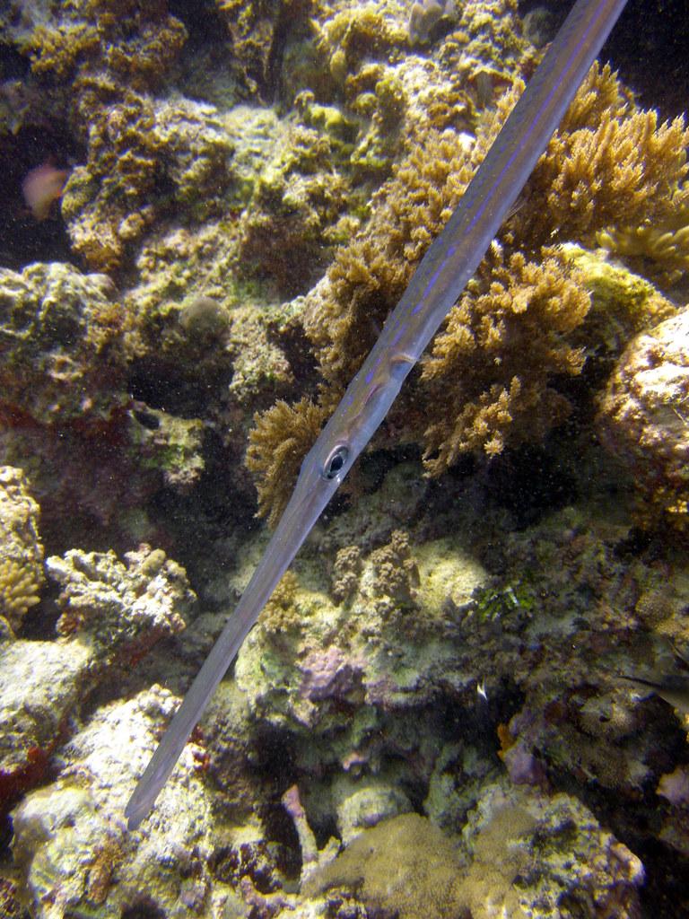Blue spotted cornetfish   Matt Kieffer   Flickr