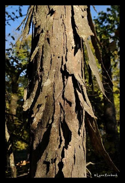 Shagbark Hickory Tree A Close Up Of A Shagbark Hickory Tre Flickr
