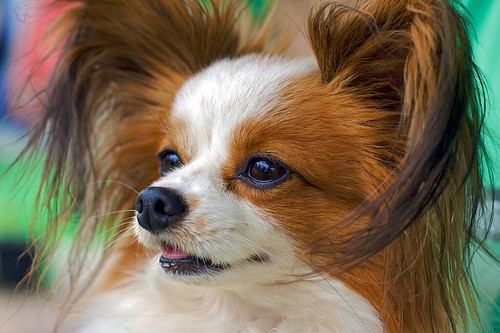Chip the Papillion | by Lisa Bettany {Mostly Lisa}