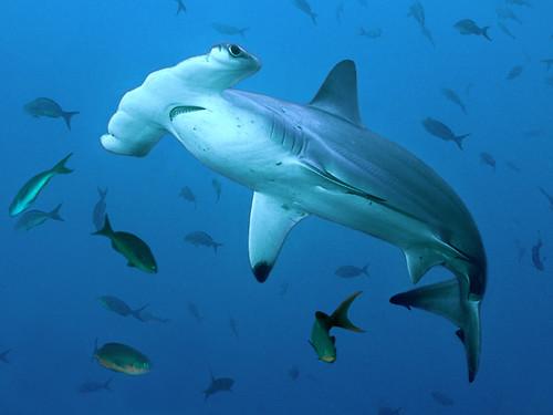 Scalloped Hammerhead Shark | © 2001 Richard Merritt ...