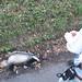 Stonegate walk -dead badger