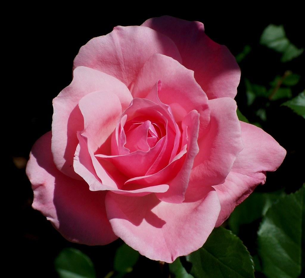 queen elizabeth rose queen elizabeth a favourite rose in flickr. Black Bedroom Furniture Sets. Home Design Ideas