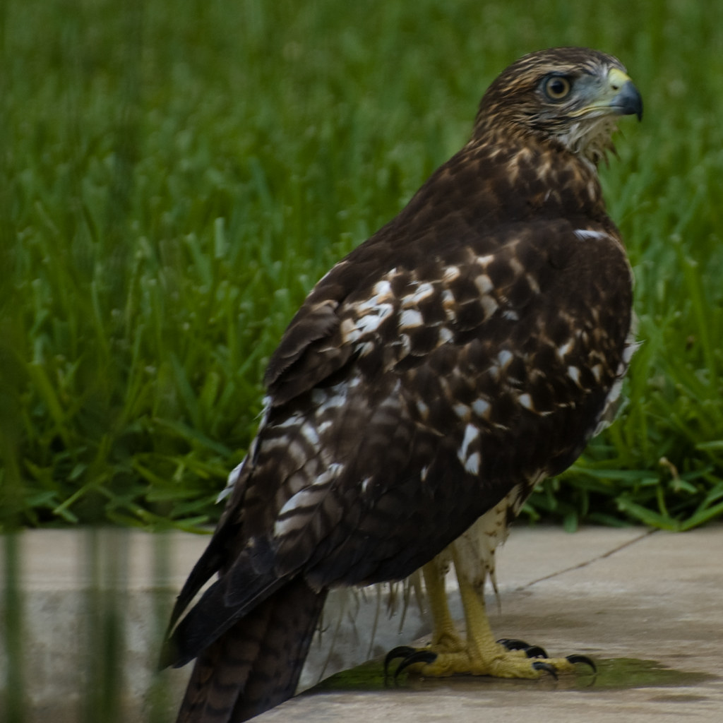Red Tailed Hawk Perched Pool Hawk | Red-tailed...