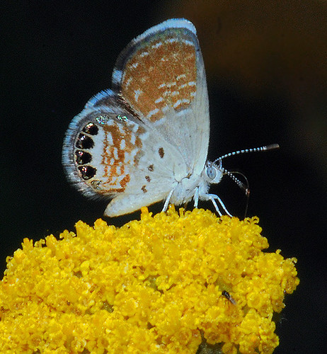 Western pygmy blue butterfly - photo#21