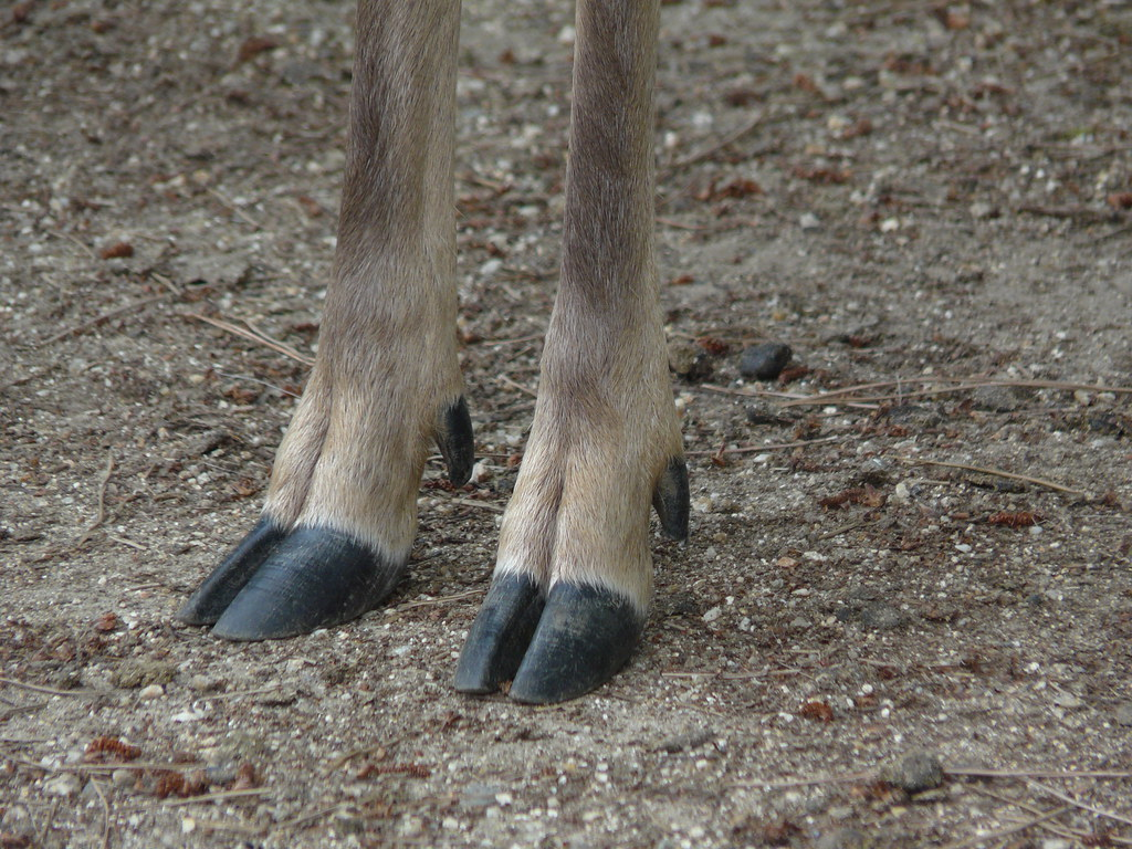 deer hooves -#main