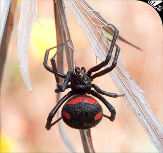 Latrodectus mactans tredecimguttatus aka Mediterranean Black Widow | by Carlo Marras Photographer 