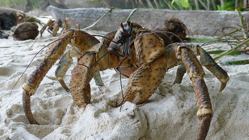 Robber crab | by John Tann