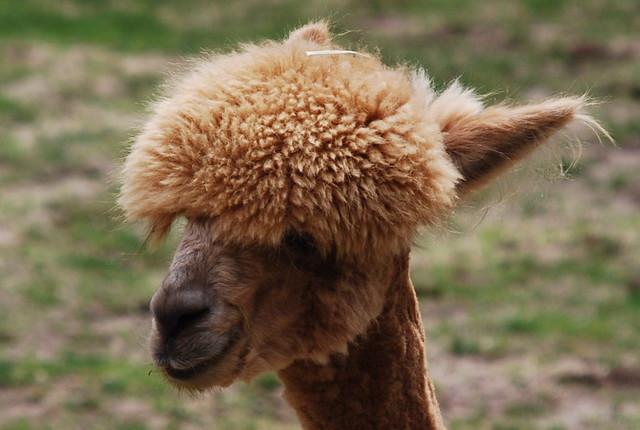 Llamas With Afros Alpaca afro   Smithson...