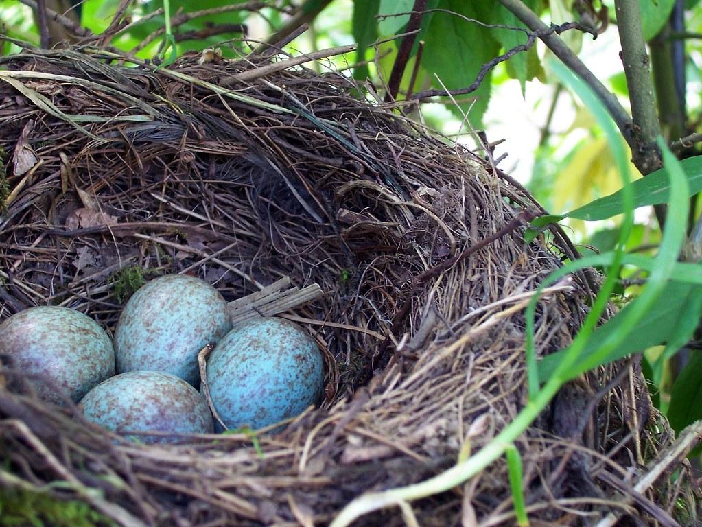 amsel schwarzdrossel turdus merula nest und eier flickr. Black Bedroom Furniture Sets. Home Design Ideas