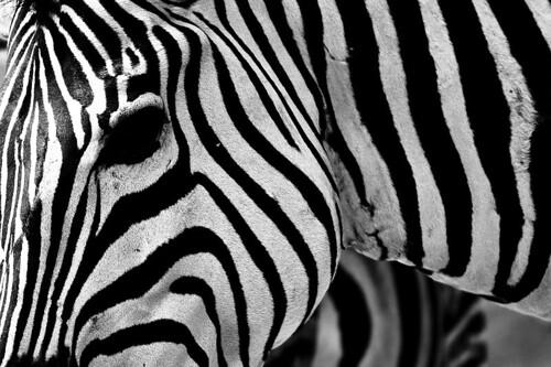 Zebra Face Paint Png