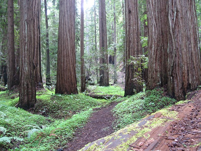 Landscaping With Redwood Trees : Redwood trees explore kathrynvjones photos on flickr kat