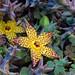 Orbea speciosa flowers