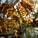 Tiger Orchid (Grammatophyllum speciosum)