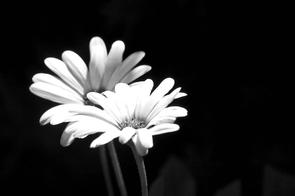 White Flower on Black Background | jaeson_K | Flickr