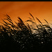 Whispering Reeds At Sunset